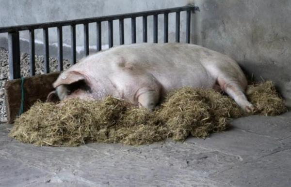 """""""猪坚强""""去世后或通过生物塑化技术制成标本"""