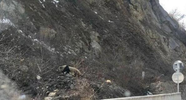 一对夫妇经过省道205线 拍下大熊猫见人后逃跑过程