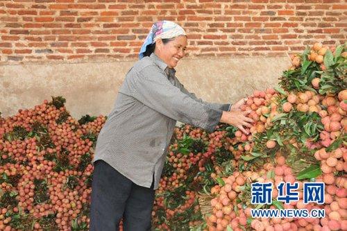 越南荔枝丰收