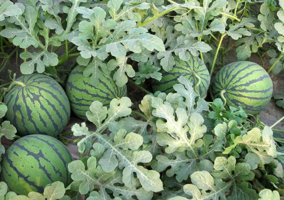 消夏去这里 6月13日到彭州红岩镇免费吃西瓜