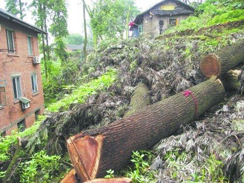 自贡市为保棚户区安全 砍120棵参天大树(图)