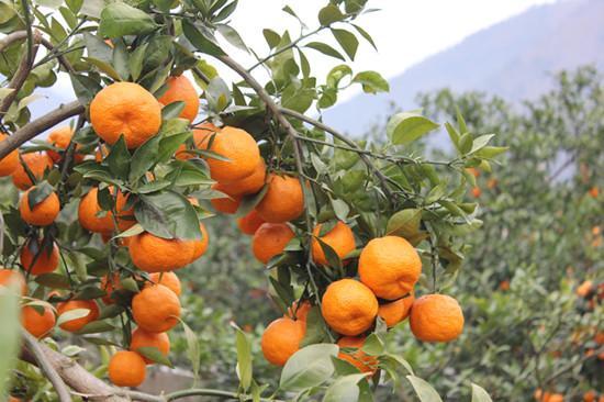 摘酸甜多汁的黄果柑 石棉第七届黄果柑节开幕