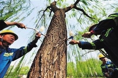 """北京力争2020年""""有絮不成灾"""" 改造老残病雌株"""