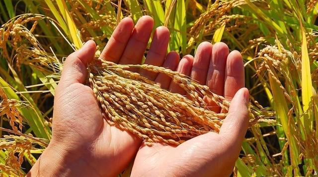 与此同时,国外主要粮食品种价格大幅低于我国,价格明显倒挂.