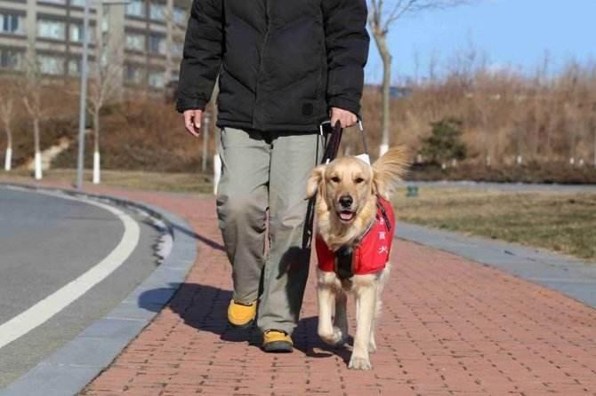 盲犬主陪伴主人4年没犯一次错  距主人从未超过10米