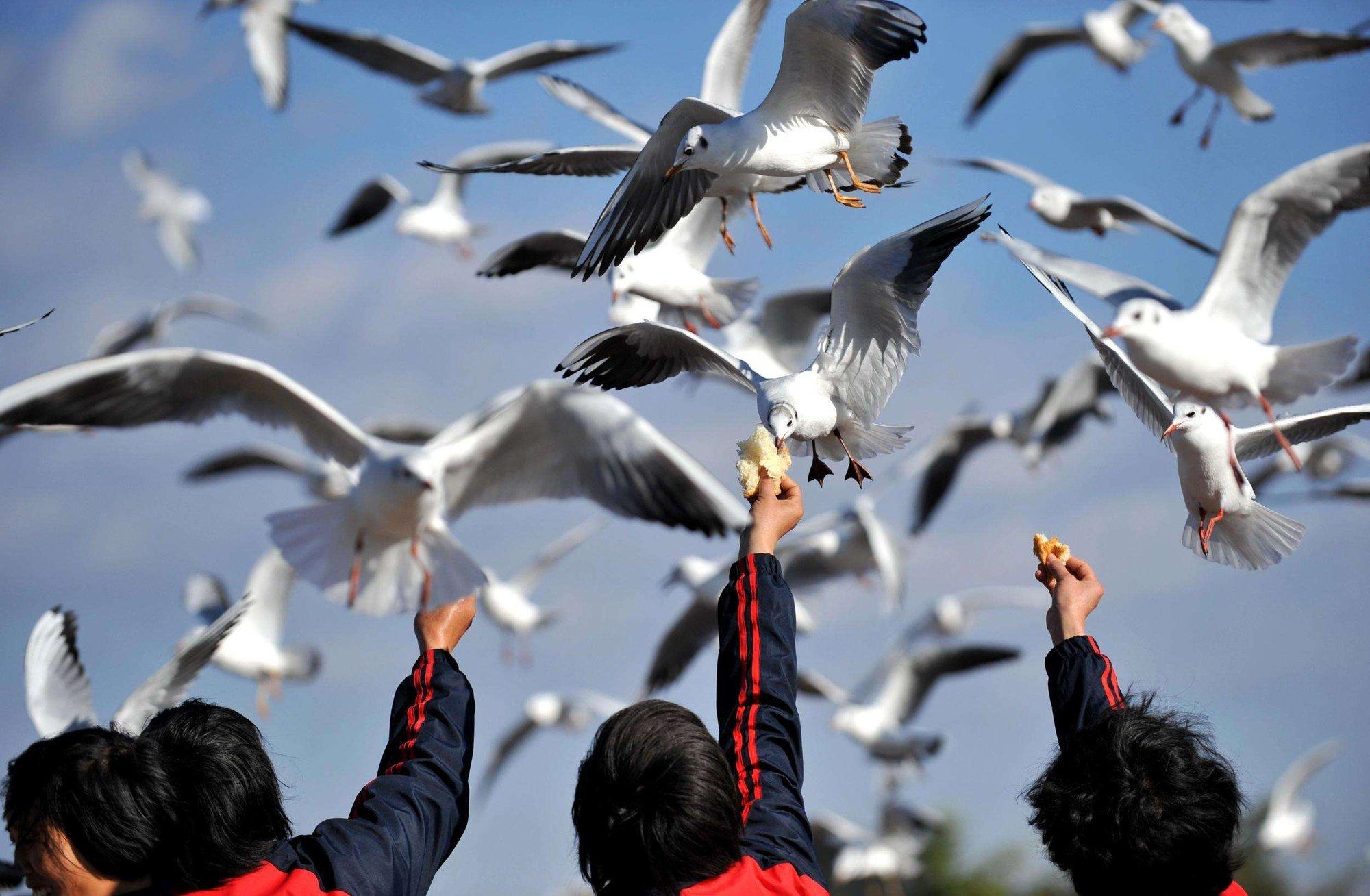 昆明市采购鸥粮30吨62处免费投喂 保证红嘴鸥顺利越冬