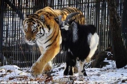 去年底,俄罗斯动物园里一直老虎和一只山羊成了CP,老虎好吃好喝