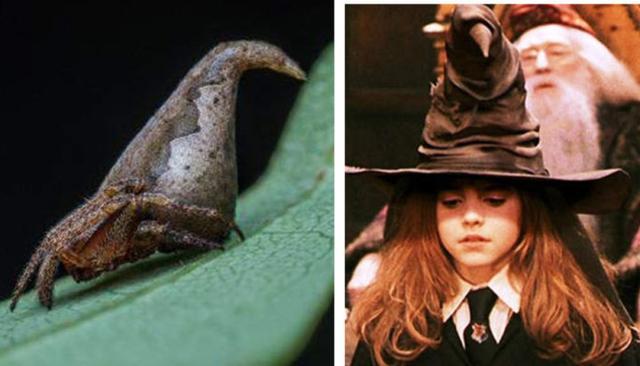 新品种蜘蛛酷似《哈利波特》分院帽 连作者罗琳都惊动了