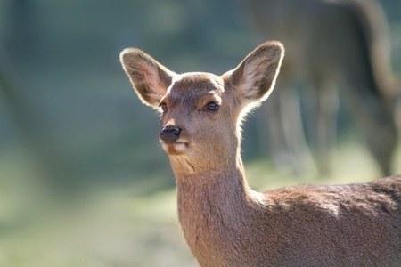 奈良要杀120头鹿!公园里会卖萌的留下