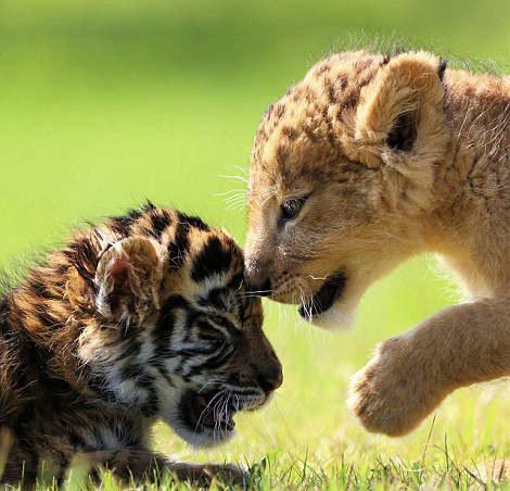 老虎,狮子与兔子和睦相处 真实版《疯狂动物城》