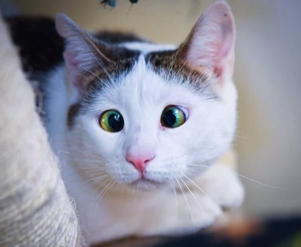 眼神好温柔 对眼猫咪成新晋网红