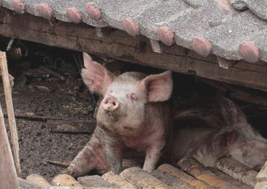 熊本地震众人合力解救猪坚强 后送至屠宰场
