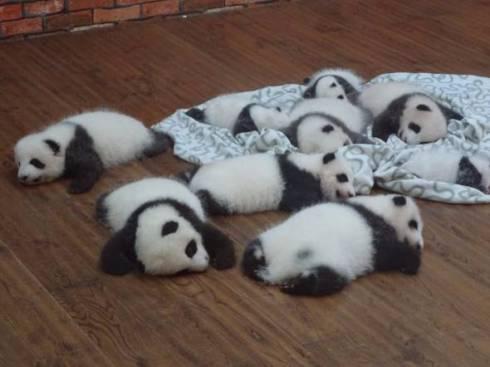 国宝们可爱的样子立刻萌坏了一大群日本网友,甚至有网友大呼,熊猫的