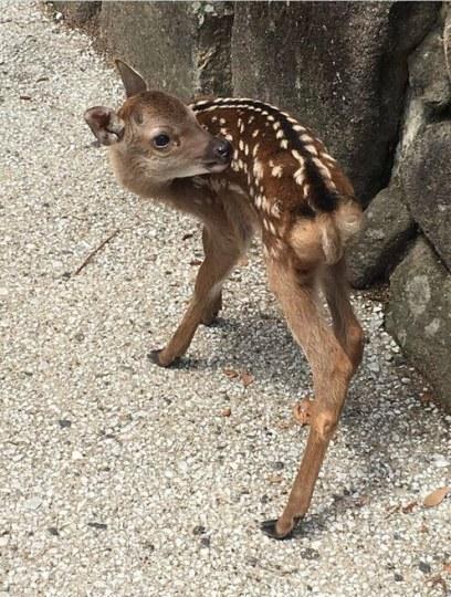 别摸别投喂!日本呼吁外国游客文明对待小鹿