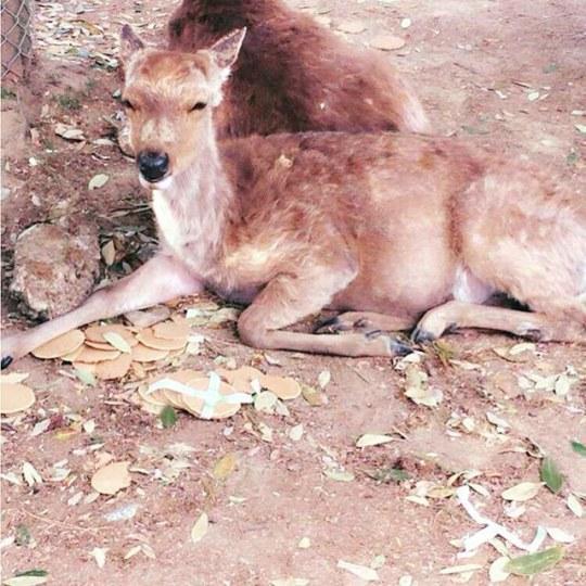 奈良鹿在黄金周没有推倒一个人类 只因吃饱了