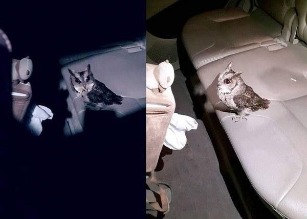 猫头鹰误闯车内晕倒 网友称是霍格沃茨的送信使