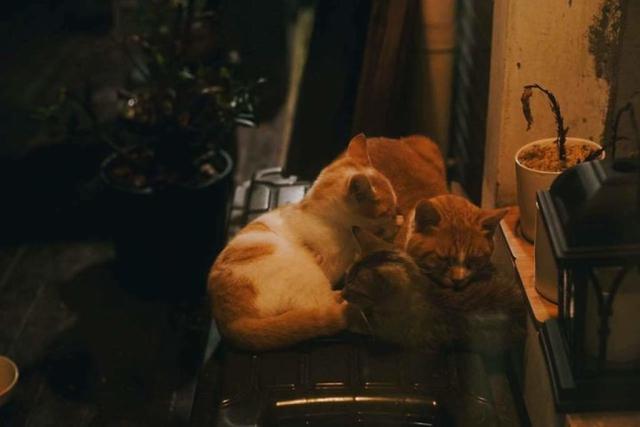日食记打造真实版《猫咪后院》 酥饼大人会不会吃醋?