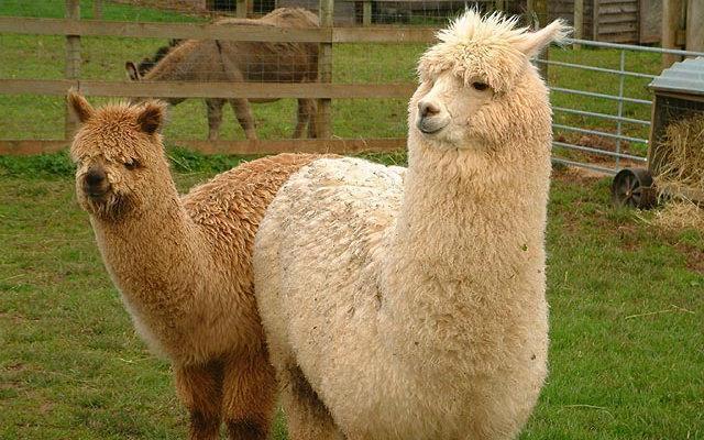 谁是真草泥马?日本动物园教你分羊驼、大羊驼