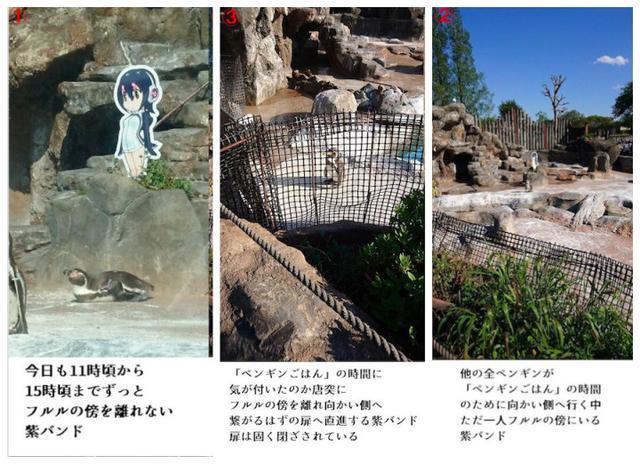 《兽娘动物园》中出现了很多以野生动物为原型的角色,因此与动物园合作也是水到渠成。在上周末开始,东武动物园与《兽娘动物园》开展联动,在许多野兽区域都放置了兽娘角色的看板。没想到其中一只名为Grape(ー君)的企鹅对汉波德企鹅看板情有独钟。在这五天的时间里,Grape一直盯着看板,甚至忘记了吃饭。Grape已经20岁了,在企鹅中这个年龄属于爷爷级别的了。为此工作人员和不少网友表示,很担心活动结束汉波德企鹅看板被撤掉之后,Grape要怎么办。