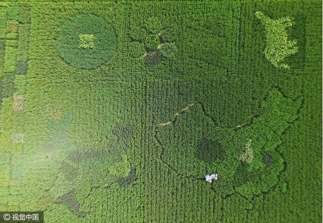 厉害了我的爷!七旬老翁400水稻种出中国地图