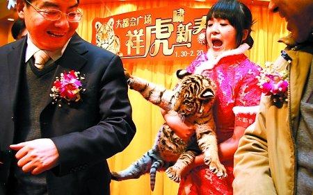 大都会来了三虎崽 顾客惊呼:好大的猫(图)