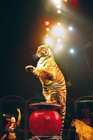国际大马戏登陆重庆 麻老虎来给您拜年啦!