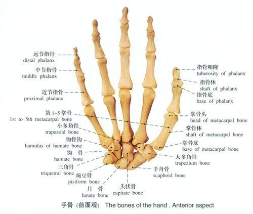 手骨及手指剖面图