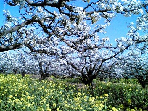 千树万树梨花开—永川黄瓜山