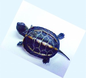 重庆本地龟貌似绝迹 巴西龟牛蛙反客为主