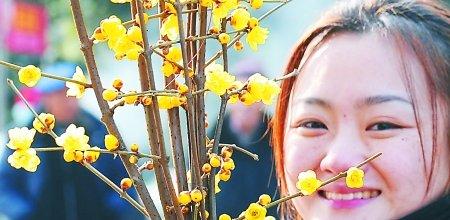 南山腊梅朵朵开 6大线路可去赏梅