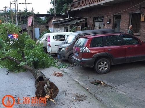 沙坪坝童家桥一棵几十年的大树被风吹倒,将路边三辆车砸坏.重庆晨图片