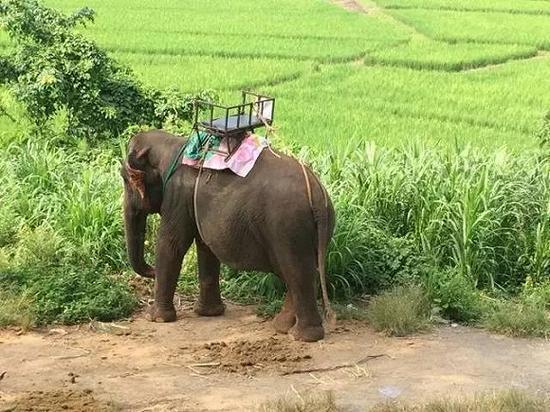 论为什么不应该去泰国骑大象