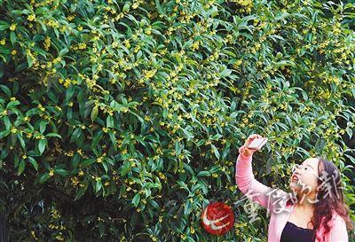 金秋到南山植物园赏桂花