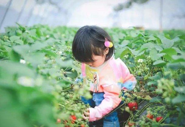 """重庆周边摘草莓最全地图 品尝第一口""""莓""""好"""