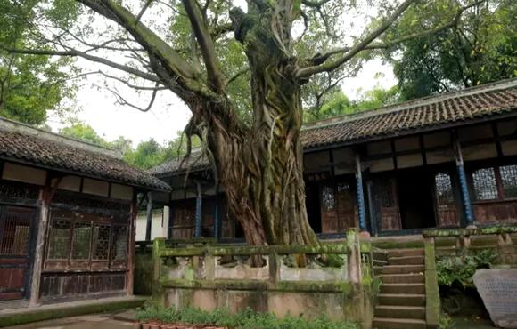 钓鱼城内的古树,见证着当年悲壮的战斗。