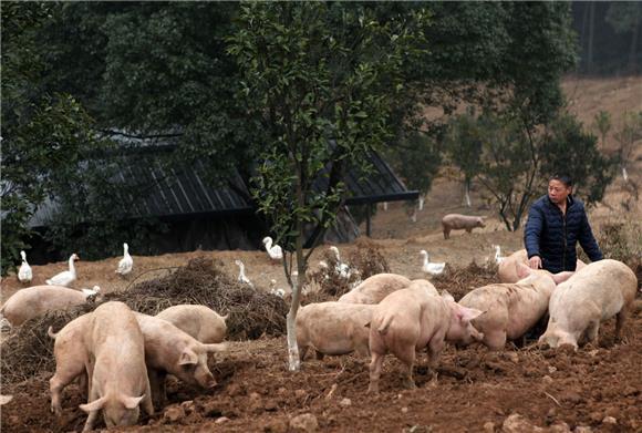 永川四姐弟原生态放养跑山猪 让其远销香港图片