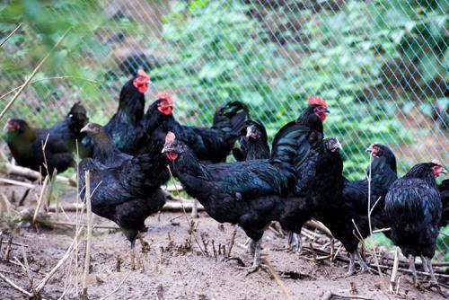 城口山地鸡飞到山城 给力活动回馈消费者