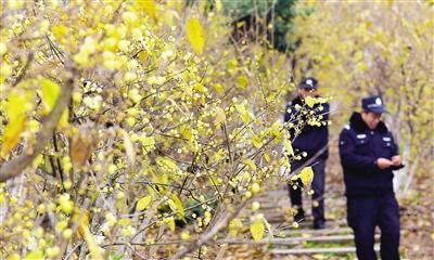 太白岩山顶公园腊梅开放 市民文明赏花