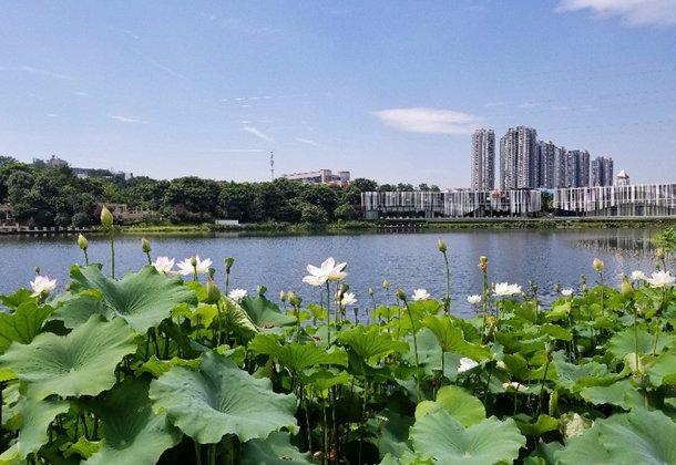 重庆这个公园的荷花漂亮,人少安静可以免费赏花