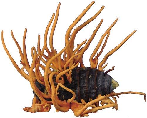 最新研究:冬虫夏草不能合成抗癌药物喷司他丁