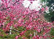 万州惊现上百亩粉红色花海