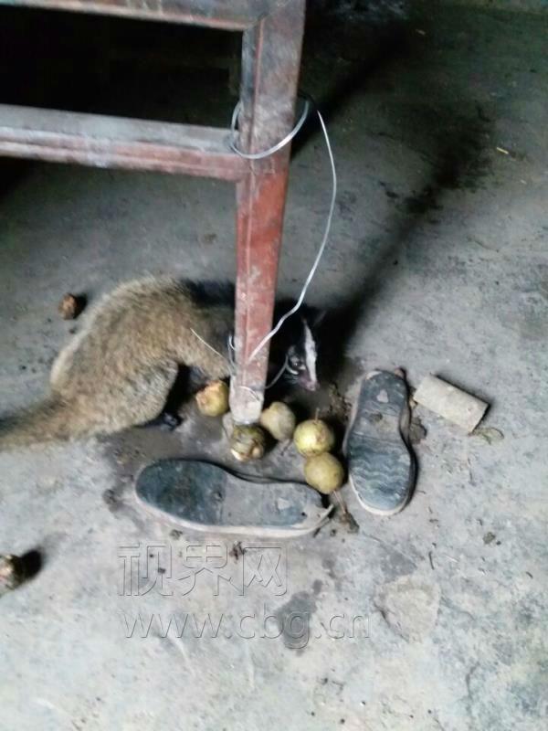 当民警赶到邹某居住地时,他正准备牵着果子狸去县城售卖。据了解,根据《野生动物保护法》,在禁猎区、禁猎期或者使用禁用的工具、方法猎捕野生动物的,由野生动物行政主管部门没收猎获物、猎捕工具和违法所得,处以罚款。县森林公安局依法对违法行为人邹某进行教育批评、罚款并将果子狸放生。 现正值野生动物果子狸活动频繁时期,巫山县森林公安提醒广大市民,保护野生动物,人人有责。 新闻链接:三有保护动物是什么意思! 三有保护动物,即国家保护的有重要生态、科学、社会价值的陆生野生动物。