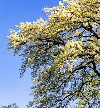 綦江:400岁红柴枝开花了