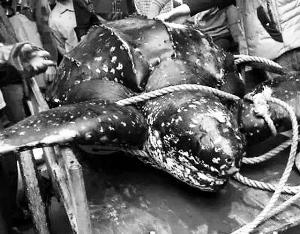 保护动物棱皮龟被屠宰 海洋与渔业厅介入调查