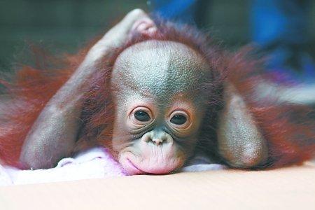 刘晓娜 实习生 王越   重庆商报讯 昨日,市动物园刚出生98天的红猩猩