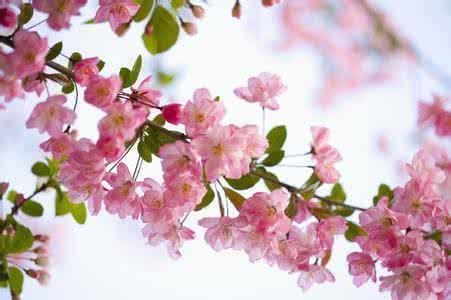樱花和樱桃只是亲戚关系