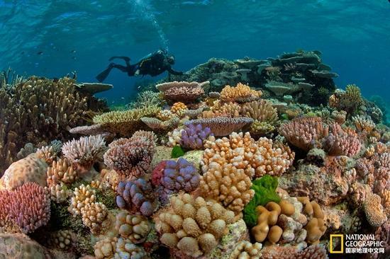 科学家正在大堡礁里检查健康的珊瑚。摄影:DAVID DOUBILET,国家地理