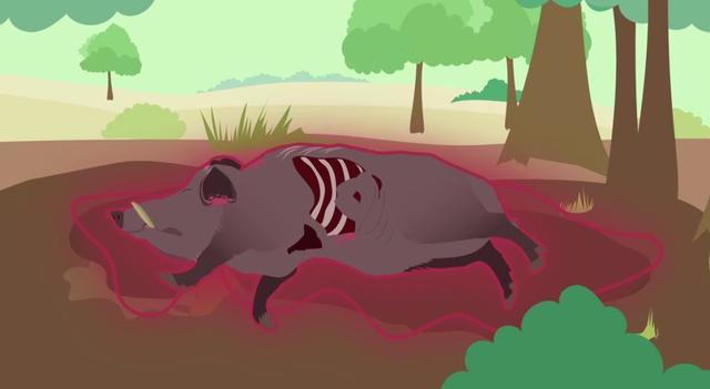 """中国首例""""非洲猪瘟""""爆发 市场上的猪肉还能吃吗?"""