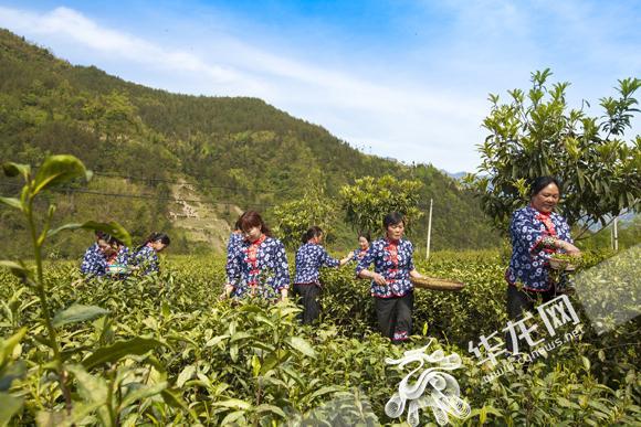 茶农在城口县鸡鸣乡采茶。城口县委宣传部供图 华龙网发.jpg