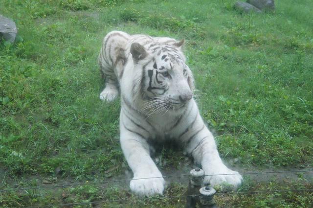 重庆动物园首对龙凤胎白虎诞生!五一节与市民见面